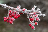 glowing howthorn (Zsuzsa Balog) Tags: frosty berries winter cold nature white ice grey red