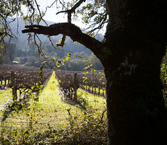 Vineyard View (glo photography) Tags: california glenellenca gloriasalvanteglophotography northerncalifornia sonomacounty flora grapes green rows tree vineyard wine winecountry landscape