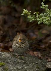 Hermit Thrush, Mult. Co., OR_1961(1) (Patterns and Light) Tags: 2017 bird portland oregon catharus guttatus catharusguttatus thrush hermit speckled