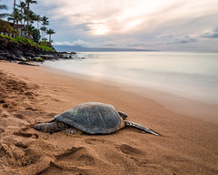 Turtle Power (Chad McDonald) Tags: maui hawaii mauilife canon turtle beach landscape usa interesting napili ocean pacific