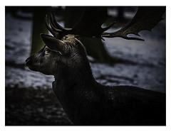 Damhirsch (lotharwillems) Tags: damwild hirsch tiere wald park tiergehege schwarz deer animals forest animal black europa germany deutschland