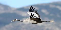 Grulla (vic_206) Tags: bird crane grulla grusgrus vuelo flight canoneos7d canon300f4liscanon14xii gallocanta teruel