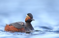 Black necked grebe (Mike Mckenzie8) Tags: lake reflection bird wildlife british migrant podiceps nigricollis
