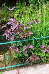 Persicaria. 'Red Dragon' (tiger289 (The d'Arcy dog supporters club)) Tags: flowers trees plants fish plant flower tree nature grass leaves birds garden restaurant leaf petals spring pond squirrels branch colours perfume westsussex blossom outdoor wildlife branches bees lawn roots insects foliage soil bark carp redwoods rabbits ww1 blooms deciduous polygonaceae ponds allotment shrubs naturalworld hardwood cherrytrees lawns fruittree manorhouse reddragon saplings chalkpit beechtrees flowerbeds digforvictory redbark avenueoftrees judastree persicariamicrocephala highdowngardens bronzeleaf floralwalk acidbeds highdownmanor foodproductionathome