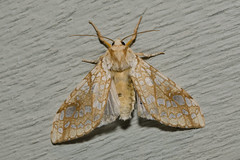 Hickory Tussock Moth, Lophocampa caryae Harris, 1841 (Misenus1) Tags: lepidoptera rhodeisland moths animalia arthropoda insecta scituateri erebidae lophocampacaryae taxonomy:class=insecta taxonomy:order=lepidoptera taxonomy:kingdom=animalia taxonomy:family=erebidae taxonomy:phylum=arthropoda taxonomy:binomial=lophocampacaryae