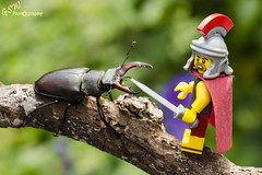 Centurion vs Stag (Gavmonster) Tags: macro male nature yellow woodland bug insect toy countryside wings nikon stag branch lego roman critter wildlife country beetle antlers jaws minifig creatures wrestle centurion gladiator stagbeetle minifigure coleoptera flyinginsect insecta lucanuscervus lucanidae mandibles polyphaga scarabaeoidea scarabaeiformia d7000