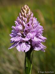 Heath Spotted-orchid (Roger B.) Tags: orchid unitedkingdom sheffield orchidaceae wildflower dactylorhiza southyorkshire heathspottedorchid bradfielddale actylorhizamaculata