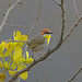Rufous-capped Warbler, Teotitl�n del Valle, Oaxaca, Mexico