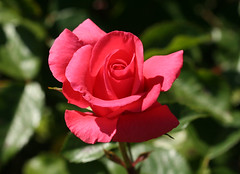 03-IMG_4216 (hemingwayfoto) Tags: rot rose flora pflanze blume blte stadtpark botanik blhen duftend edelrose rosengewchs arosia