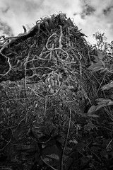 It takes Over (FTonyC) Tags: blackandwhite overgrown monochrome monster weeds roots covered horror tangle triffid overrun x100s