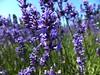Lavender (Juliette_G) Tags: flowers plant flower macro field purple blossom outdoor lavender blooming mayflowers summerwallpaper