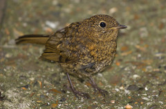 Curious Young Robin (ArtGordon1) Tags: uk england bird london nature robin birds e17 ornithology walthamstow davegordon youngrobin davidgordon artgordon1 daveartgordon daveagordon davidagordon