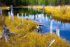 Beaver Lodge (stevenbulman44) Tags: beaver dam autumn water reflection landscape color white tree trunk canon lseries 2470f28l polarizer filter outdoor