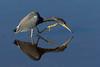Tricolored Heron (Gary McHale) Tags: tricolored heron myakka river state park florida