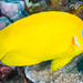 Lemonpeel Angelfish - Centropyge flavissimus