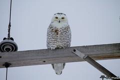 12-21-2016 Snowy-3854-2 (CJPostal) Tags: snowy owl owls snow bubo wildlife nature wild life rural farm prairie bird birdwatching birds sky winter cold michigan midmichigan pure breckenridge gratiot county mi great lakes bay
