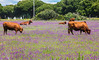 IMG_5240-1 (Andre56154) Tags: spanien espana spain andalusien andalusia blume flower wiese wiede willow baum tree kuh cow kattle vieh herde animal himmel sky
