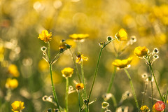 World in yellow (Kasia Sokulska (KasiaBasic)) Tags: fujix canada alberta elkislandnp summer light nature flower abstract buttercups macro