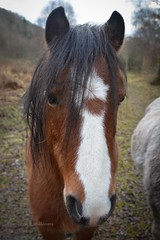 Ponies at Cors Caron (Zoe K Williams) Tags: corscaron ceredigion trees reflection reflections water reeds grass grasses wales welsh bog peat sedge naturereserve nature landscape sky still calm horses horse ponies pony chestnut brown