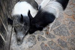 so tired (jessie_with_the_camera) Tags: tired sleep sleeping pig piggy cute kawaii nature animals animal nikon