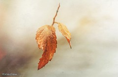 Winter's leaves (melike erkan) Tags: textures leaves leaf gold golden bokeh dof white orange mextures nature winter nikon macro closeup rainydays organic naturesbeauty beauty beautiful lovely moody