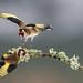 _E9A7379.jpg (malcpark1) Tags: woodlandbirds aviemore 2017