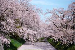 hirosaki park sakura (wingyeah) Tags: sakura japan best hirosaki