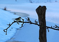 Kohlmeise (jueheu) Tags: kohlmeise meise singvogel vogel bird birds vögel winter cold januar gelb yellow schnee snow frost frosty niedersachsen grafschaftbentheim