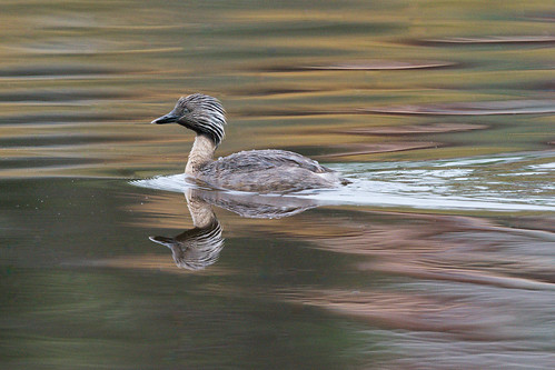 Hoary Headed Grebe