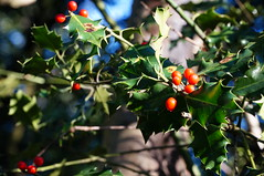 Sutton Park - Holly Hurst (tim ellis) Tags: suttonpark park hollyhurst holly berry red redberry suttoncoldfield uk