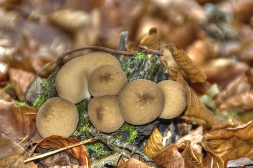 Kartoffelbovist