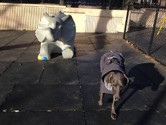 Another elephant friend... (VanaTulsi) Tags: vanatulsi weim weimaraner dog blueweim blueweimaraner