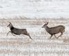 Home, home on the range... (edmason88) Tags: deer doe buck chase antlers tamron150600 strathconacounty