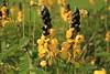 Senna didymobotrya (Txaro Franco) Tags: flor flower fleur lorea yellow horia amarillo amarilla jeune etiopía ethiopia arbusto planta flora quintaflower lafloraporsunombre senna didymobotrya sennadidymobotrya cassia cassiadidymobotrya