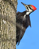 DSC_0309=3PileatedWP (laurie.mccarty) Tags: pileatedwoodpecker woodpecker nature nikond810 nikon lauriemccartyphotos birds bird bluesky wildlife pileated