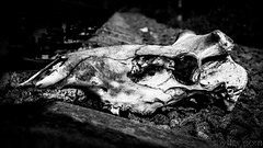 Untitled (#Weybridge Photographer) Tags: chernobyl chornobyl pripyat ukraine nuclear disaster exclusion zone radiation reactor urban decay decaying abandoned discarded adobe lightroom canon eos dslr slr 40d animal skull dead