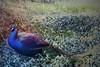 Royal Blue (Kasey Don Culp) Tags: peacock birds mystic