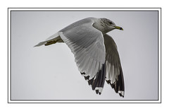 Flying Gull (jsleighton) Tags: gull flying bird hudson river newburgh ny