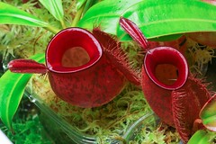 nepenthes ampullaria harlequin (venwu225) Tags: nepenthes pitcher plants life green soul fashion carnivorous captive