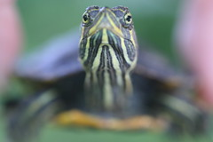 You Lookin' at Me? (FilmandFocusPhoto) Tags: macro green nature animal yellow canon outdoors 50mm eyes natural outdoor turtle reptile availablelight small shell sigma naturallight todayspic macrophotography organism noprocessing photoshopfree macrounlimited
