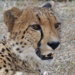 Cheetah - Lion Park (South Africa) (stevelamb007) Tags: africa closeup southafrica eyes nikon bigcat cheetah johannesburg lionpark 18200mm d90 stevelamb
