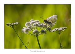 Le Gazé / Black Veined White (Yannick Herremans) Tags: white black butterfly papillon veined aporia crataegi gazé