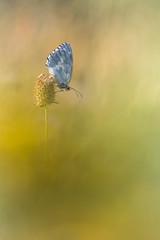 (Cyril Peron) Tags: nature papillon