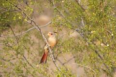 Image8578RR (staffordlaura1955) Tags: arizona southwest bird nature birds animal outdoors backyard desert wildlife fledgling songbird songbirds