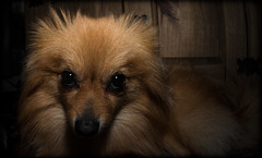 Boo the Pomeranian. (CWhatPhotos) Tags: pictures camera portrait dog pet brown fish cute eye animal digital pen that lens lite four photography pom focus foto with view image artistic pics dwarf sandy wide picture pic olympus images boo fisheye have photographs photograph fotos micro colored manual pomeranian 35 olympuspen coloured which spitz fit contain 43 thirds pompom f35 75mm mft samyang esystem sanyang zwergspitz thelittledoglaughed cwhatphotos ldlportraits epl5 dwarfspitz