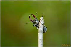 vliegend hert (7D028934) (Hetwie) Tags: nature insect nederland natuur limburg kever stagbeetle lucanuscervus jabeek zeldzaam vliegendhert hertkever