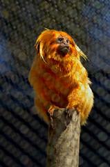 sitting-edited (Brandywine Zoo) Tags: golden lion tamarins