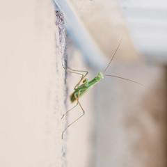 Praying Mantis (alt7516) Tags: bug mantis insect colorado praying boulder