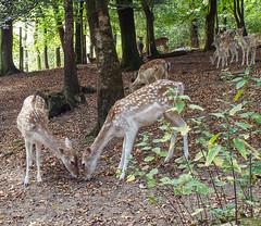 Deer (twinkle_moon_bunny) Tags: cornwall wildlife deer otter sanctuary tamar
