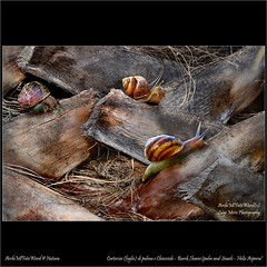 "Corteccia (foglie) di palma e Chiocciole - Bark (leaves) palm and Snails – ""Helix Aspersa"" (LuigiMirto/ArchiMlFotoWord/Natura) Tags: art leaves canon nikon sigma palm adobe bark foglia snails lumaca palma bianconero corel chiocciola corteccia fiaf macromicro helixaspersa secca nikoncapturenx wireles bilanciamentobianco isoasa200 messafuoco nikonpk11a nikonsb900 archimlfotoword corelphotopaintx5 fotocolore luigimirto nikond800e nikonkitmacror1c1 rapportoriproduzione adobephotoshopcc canalea farettimanfrottoml240 nikonwirelesspeedlightsb200 canoncloseup500d72mm file112mb microtorcerohss impostazionecolore sigmaapo150mmf28macrodghsm filtrodiffusore nikonwirelesspeedlightcommanderd800 mbd12batterypack fiafafi coloremacro artistafotografiaitaliana"